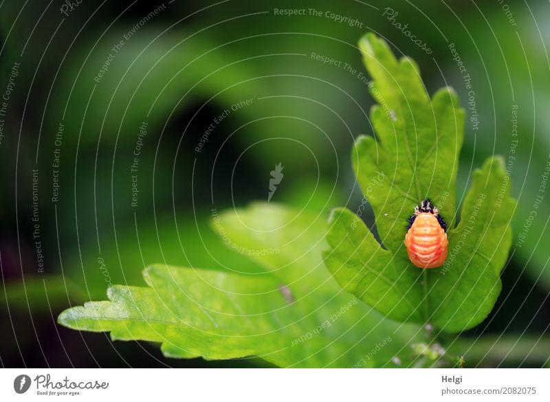 Verwandlung ... Natur Pflanze grün Blatt Tier schwarz Tierjunges Umwelt Leben natürlich klein außergewöhnlich Garten orange Wachstum authentisch