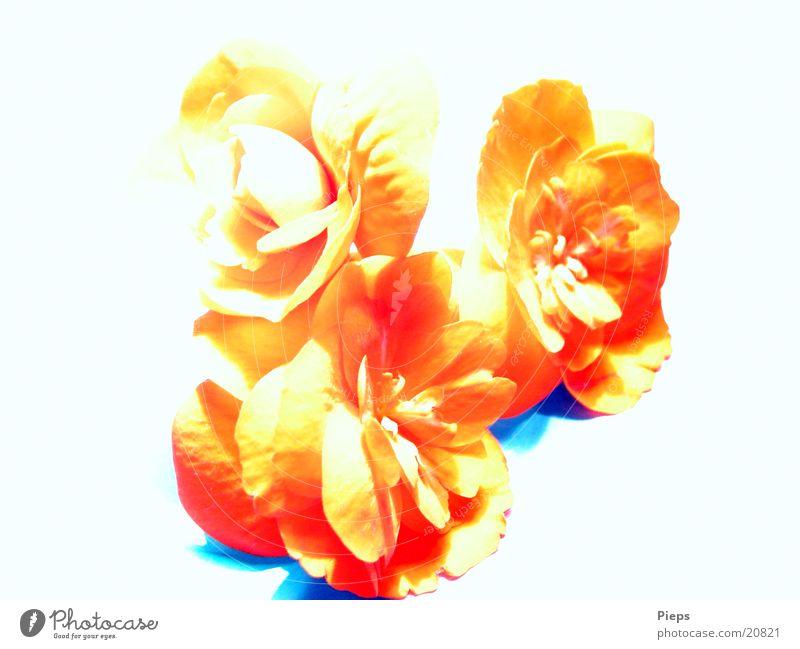 Begonie (2) Farbfoto Innenaufnahme Nahaufnahme Pflanze Blume Blüte Topfpflanze rot zart Begonien
