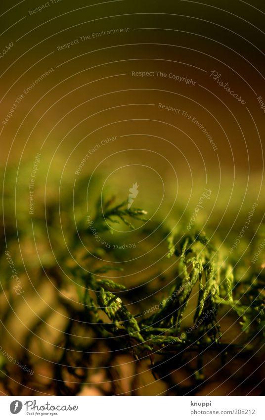 Morgenstund hat Gold... Umwelt Natur Pflanze Sonnenlicht Moos Blatt Wildpflanze Wachstum braun grün ruhig schön Warmes Licht Farbfoto Außenaufnahme