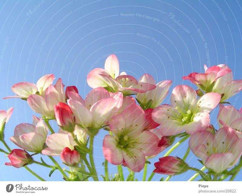 WinzigZartRosa Farbfoto Außenaufnahme Makroaufnahme Pflanze Himmel Frühling Blume Blüte Garten Vergänglichkeit Mai zart Jahreszeiten steinbrech may flower