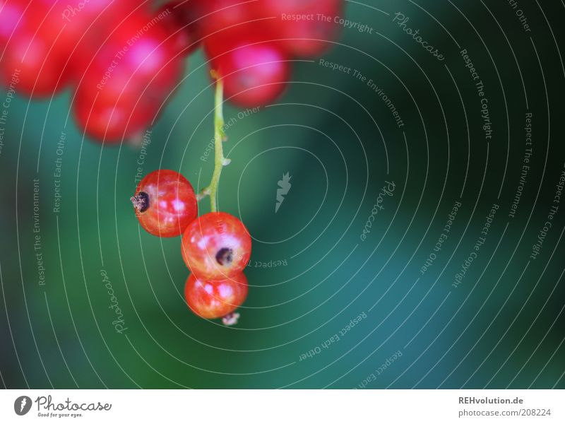 """""""Du darfst solche Beeren nie wieder pflücken!"""" Natur grün Pflanze rot Sommer Ernährung Garten Gesundheit Lebensmittel Frucht Wachstum rund Sträucher lecker"""