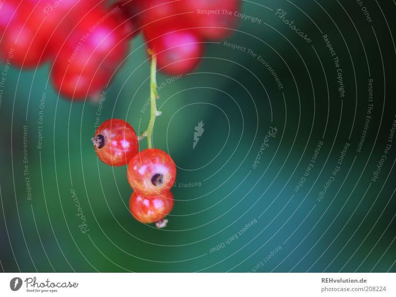 """Du darfst solche Beeren nie wieder pflücken!"" Natur rot Johannisbeeren Frucht grün reif hängen 3 lecker geschmackvoll sauer Schaffung Pflanze Wachstum"