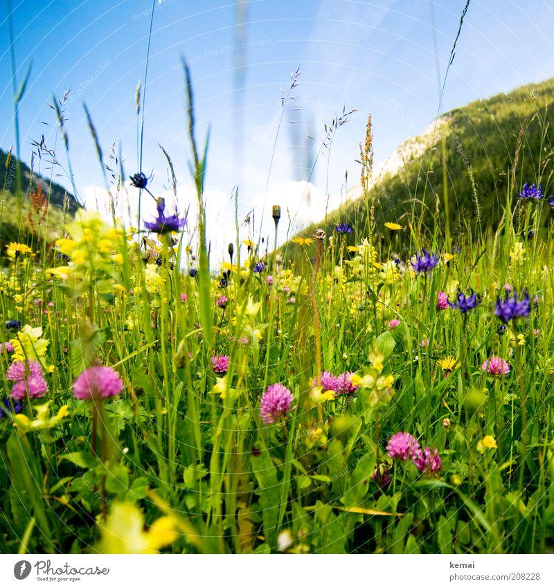 Berg-Sommerwiese Umwelt Natur Landschaft Pflanze Himmel Sonne Sonnenlicht Frühling Klima Schönes Wetter Wärme Blume Gras Blüte Grünpflanze Wildpflanze Klee