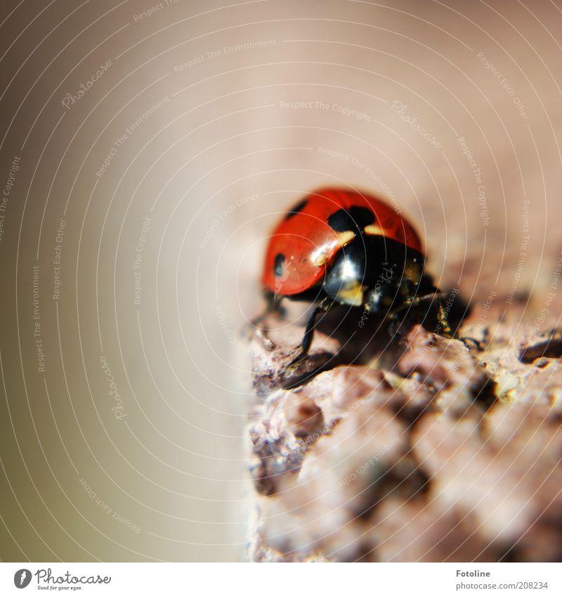 Glückskäfer Umwelt Natur Tier Sommer Wildtier Käfer Tiergesicht Flügel krabbeln Marienkäfer Insekt rot schwarz Punkt Farbfoto mehrfarbig Außenaufnahme