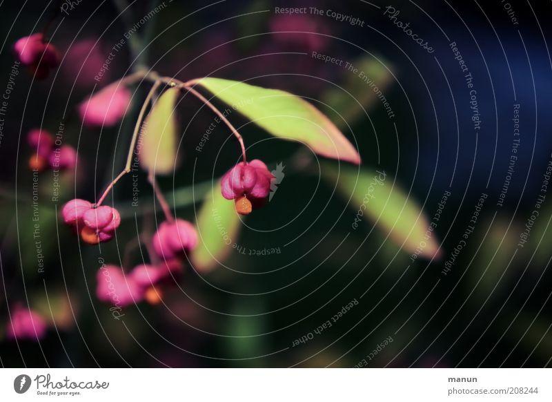 Pfaffenhütchen Natur Herbst Pflanze Sträucher Blatt Blüte Wildpflanze rosa Wachstum Farbfoto Außenaufnahme Textfreiraum rechts Abend Dämmerung