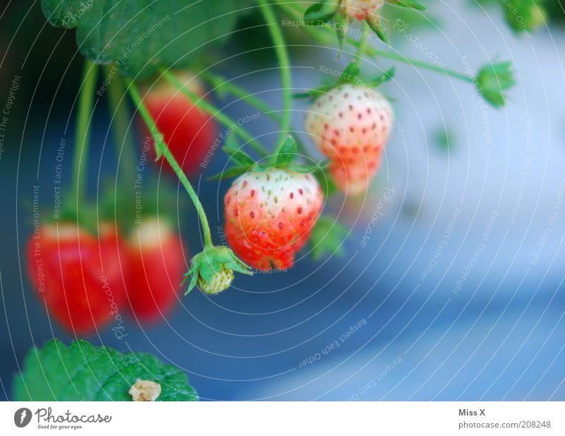 Berry Lebensmittel Frucht Ernährung Bioprodukte Vegetarische Ernährung Pflanze Nutzpflanze Wachstum lecker süß Erdbeeren unreif Beeren Blüte Farbfoto mehrfarbig