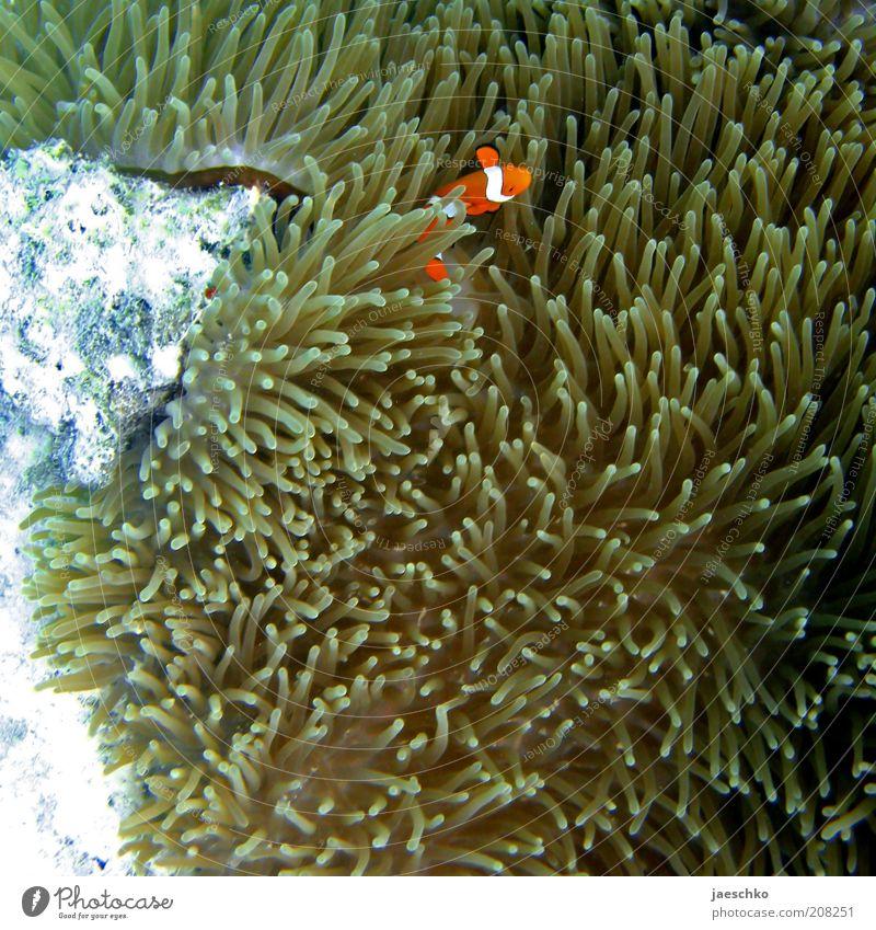 Nemo allein Zuhaus Natur Meer Tier Zufriedenheit orange Fisch Sicherheit Schutz tauchen verstecken Unterwasseraufnahme Geborgenheit Schüchternheit Medien