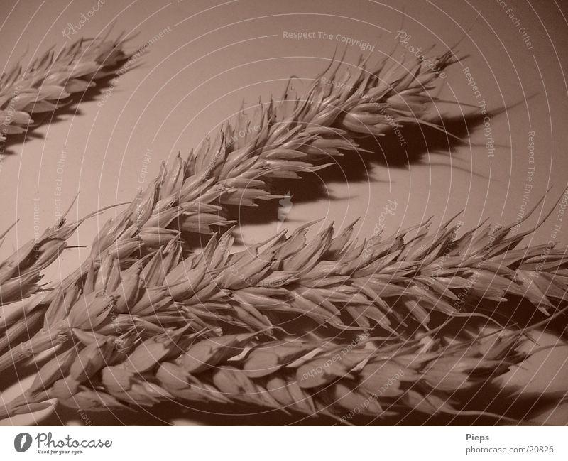 Ährensache Pflanze Feld Gesundheit Getreide Halm Korn Weizen Sepia Nutzpflanze