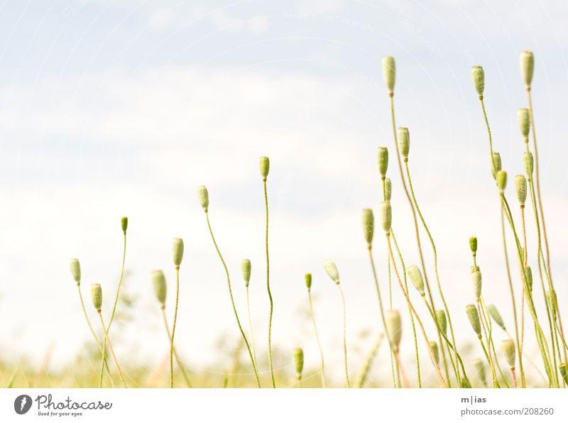 Sommer. Getreide Bioprodukte elegant harmonisch Ausflug Ferne Freiheit Pflanze Schönes Wetter Mohn Feld ästhetisch Leichtigkeit Farbfoto Gedeckte Farben