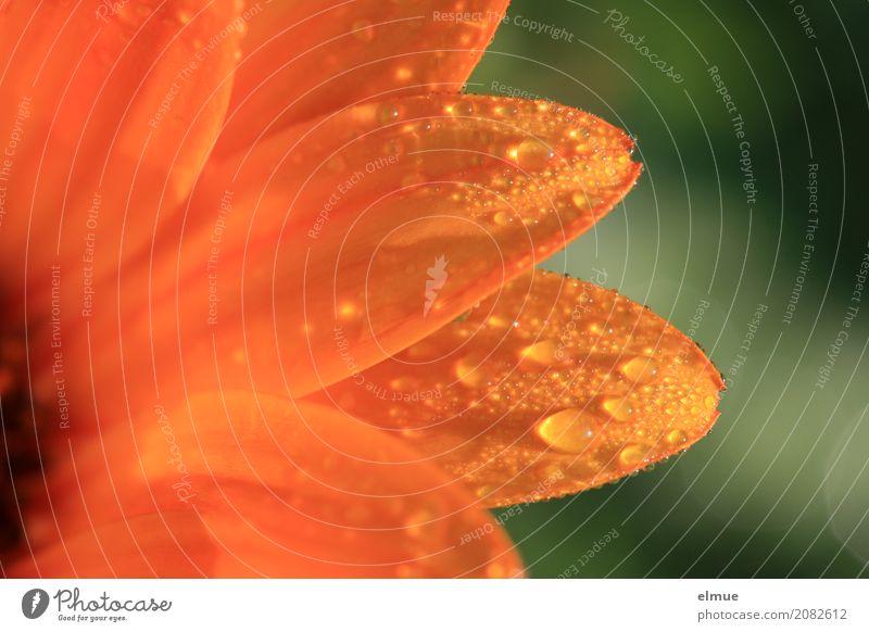 Morning has broken ... Pflanze Wassertropfen Frühling Schönes Wetter Blume Kapkörbchen Blütenblatt Perle Blühend leuchten hell nah nass orange Glück