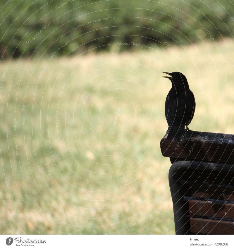Familiengründung - Phase I Vogel Amsel Schatten Außenaufnahme Bank Wiese Sträucher Silhouette Holz Pflanze Tier Menschenleer singen Pfeifen tirilieren werben