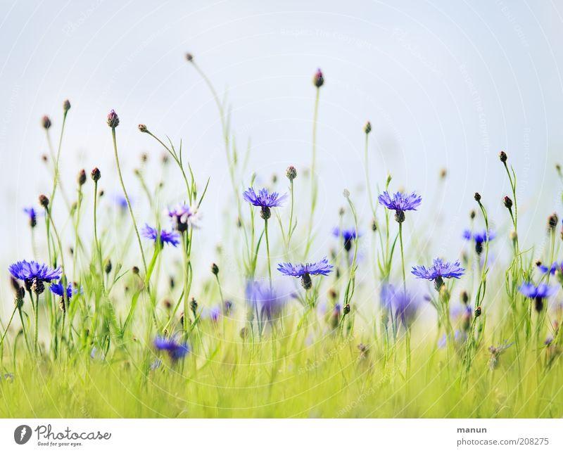 Kornblumen Natur Sommer Pflanze Blume Sträucher Blüte Nutzpflanze Wildpflanze Sommerblumen Wiese Blühend Wachstum hell natürlich schön blau Umweltschutz