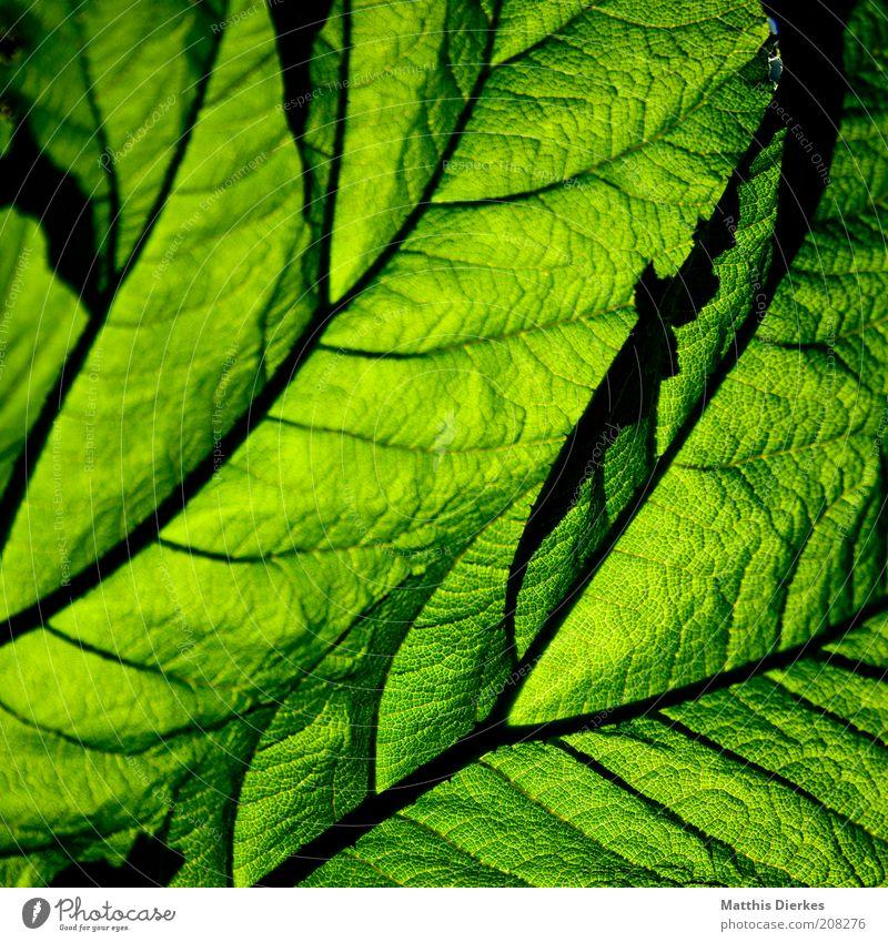 Mammutbaumblatt Umwelt Natur Pflanze Sommer Blatt Grünpflanze exotisch ästhetisch außergewöhnlich gigantisch natürlich saftig grün groß Wachstum Umweltschutz