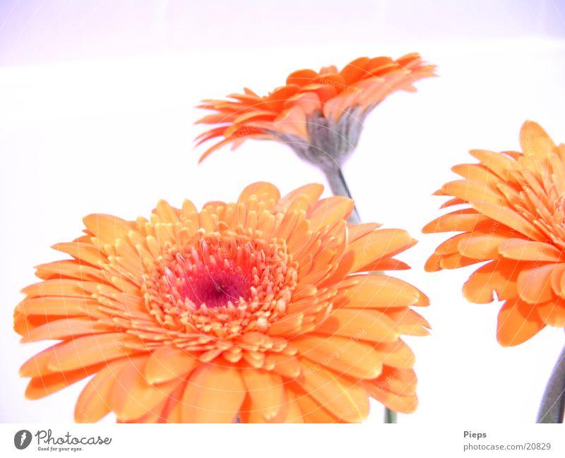 Realität der angenehmen Art (1) Pflanze Sommer Blume Freude Blüte orange Blühend Lebensfreude Vergänglichkeit 3 Muttertag Gerbera