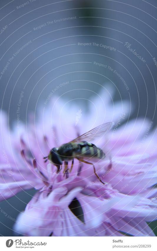 auf der blühenden Kornblume süßen Nektar anzapfen Schwebfliege graublau blaugrau Fliege fressend blühende Wildblume Sommerblume Sommerblumen Wiesenblume