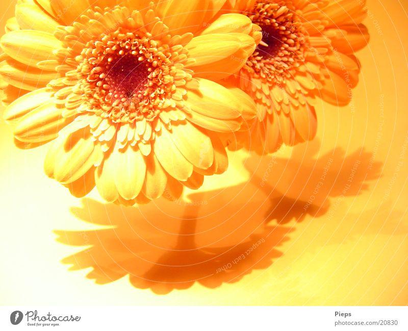 Realität der angenehmen Art (2) Pflanze Sommer Blume Freude gelb Wärme Blüte frisch Blühend Vergänglichkeit Blumenstrauß Überraschung Valentinstag Gerbera
