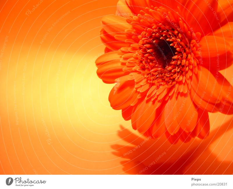 Realität der angenehmen Art (3) Blume Pflanze Freude Blüte orange Vergänglichkeit Blühend Gerbera