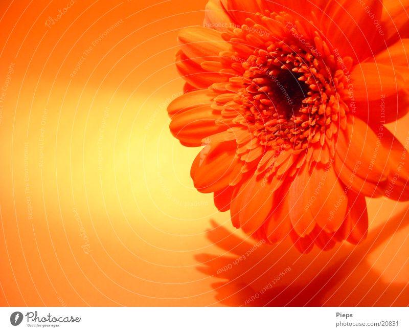 Realität der angenehmen Art (3) Farbfoto Innenaufnahme Schatten Freude Pflanze Blume Blüte Blühend Vergänglichkeit Gerbera orange flower blossom