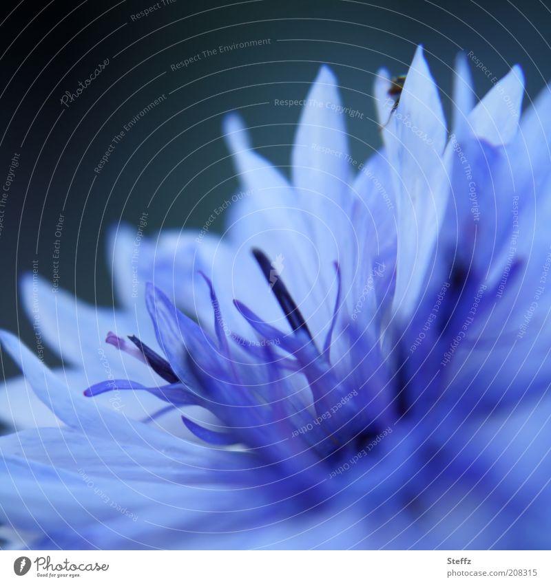 blaue Kornblume Cyanus blaue Blume blühende Kornblume blühende Blume Blaue Blume der Romantik blaue Blüte Wiesenblume Wildblume einzigartig hellblau prächtig