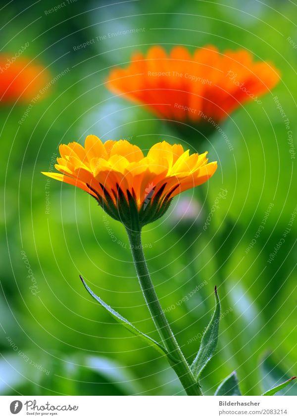 calendula officinalis Ringelblume marigold Sommerblumen Blume Blüte orange Heilpflanzen Schrebergarten apothekergarten Medikament Blumenwiese Sommertag