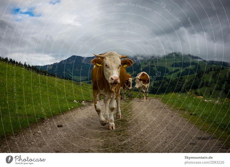 Kuh Walk Umwelt Natur Landschaft Pflanze Tier Wetter Schönes Wetter schlechtes Wetter Unwetter Alpen Berge u. Gebirge Gipfel Nutztier Tiergesicht Fell 1 3 blau
