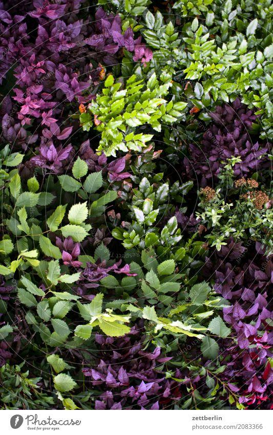 Buchsbaum, Lorbeer, Berberitze Blume Garten Schrebergarten Kleingartenkolonie Menschenleer Natur Pflanze ruhig Sommer Sträucher Textfreiraum Zweig Hecke