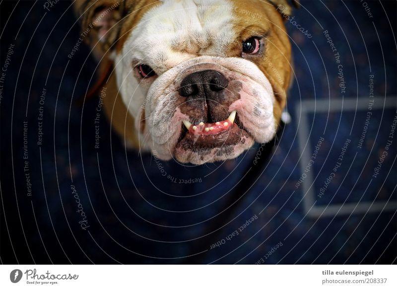 Du schon wieder... Haustier Hund 1 Tier beobachten Aggression bedrohlich Coolness dick muskulös achtsam Wachsamkeit Neugier bizarr Erwartung Schutz skurril
