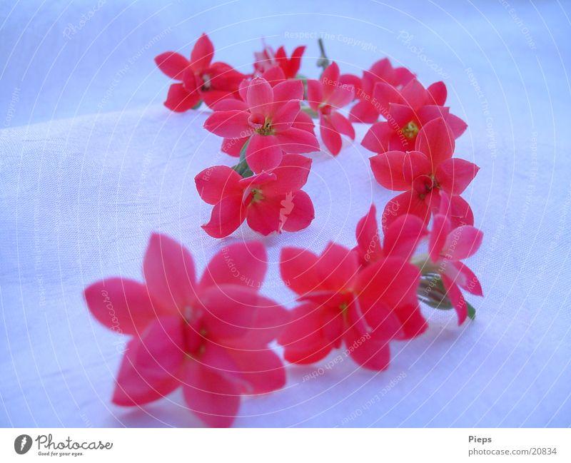 Florale Spur (2) Natur Blume rot Blüte Romantik Vergänglichkeit Blühend Reihe winzig Topfpflanze