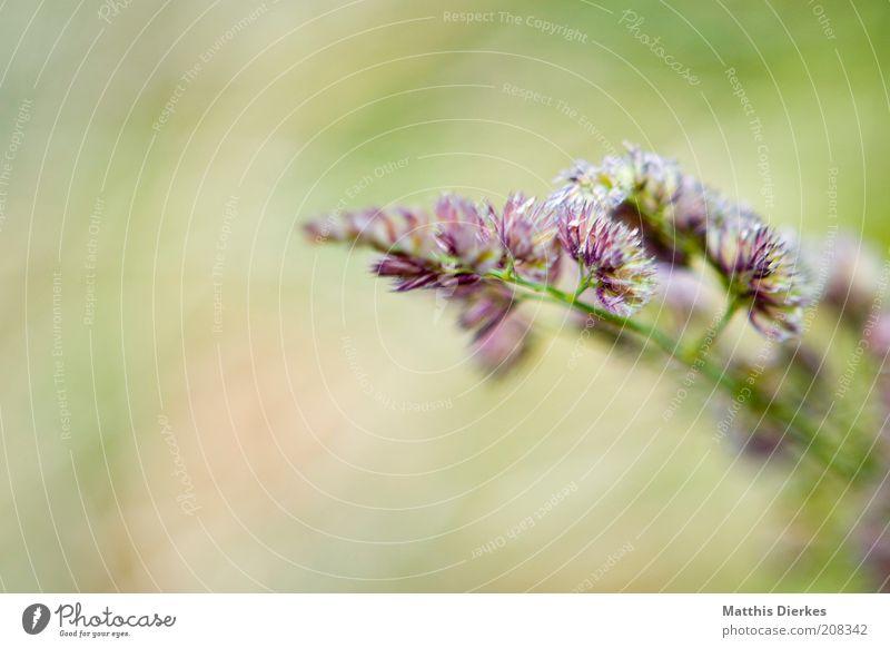 Für Behrchen Natur ästhetisch sanft zart Blüte Farbfoto Außenaufnahme weich Menschenleer 1 violett Hintergrund neutral Textfreiraum links Textfreiraum unten