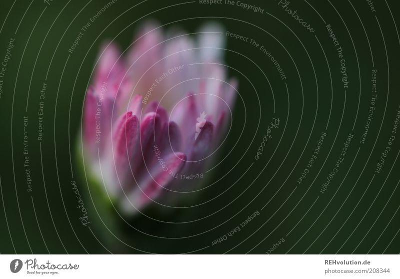 """""""Manch eine Blume lebt, um ungesehen zu blühen."""" Umwelt Natur Pflanze Sommer Blüte ästhetisch Duft einfach elegant klein schön grün rosa Gänseblümchen"""