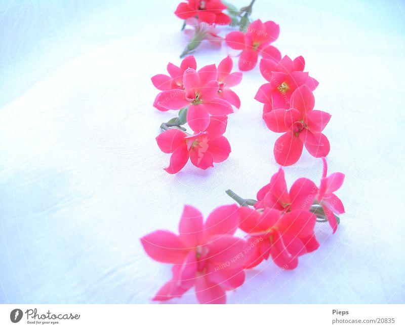 Florale Spur Blume Pflanze rot Winter Blüte Vergänglichkeit natürlich Blühend Reihe Topfpflanze