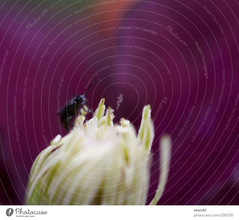 ist da wer? Natur Blume Pflanze Tier Wiese Blüte klein violett Käfer Blütenstempel