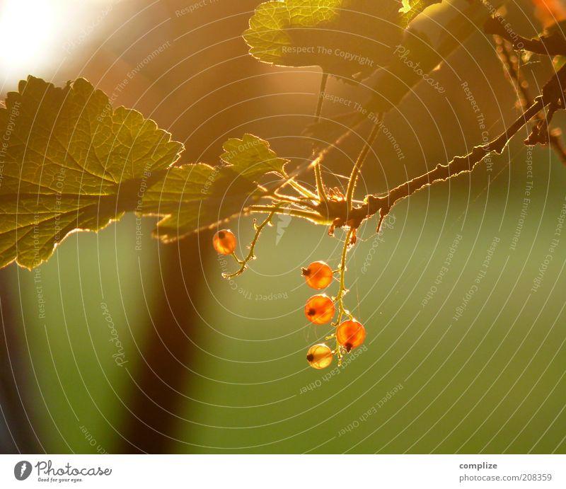 johannisbeere Lebensmittel Frucht Ernährung Bioprodukte Natur Klima Pflanze Baum Sträucher ästhetisch heiß Johannisbeeren Beeren Blatt Farbfoto