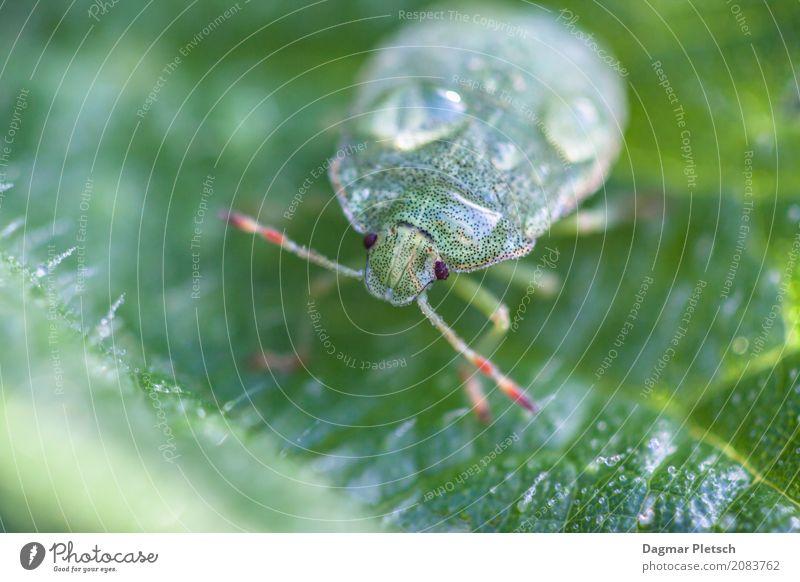 Grüner Käfer nach dem Regen Wildtier Tiergesicht 1 Wasser beobachten glänzend lustig natürlich mehrfarbig grün türkis Zufriedenheit Baumwanze Farbfoto