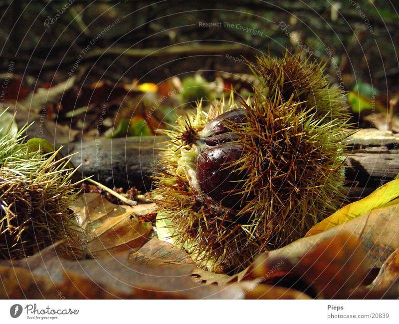 Mister Maroni Farbfoto Außenaufnahme Detailaufnahme Tag Natur Herbst Blatt Wald entdecken glänzend Wachstum stachelig braun Vergänglichkeit Nuss Maronen
