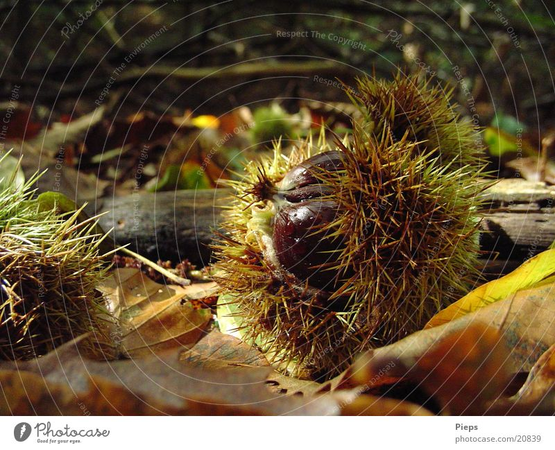 Mister Maroni Natur Blatt Wald Herbst braun glänzend Wachstum Vergänglichkeit entdecken stachelig Nuss Kastanienbaum Maronen