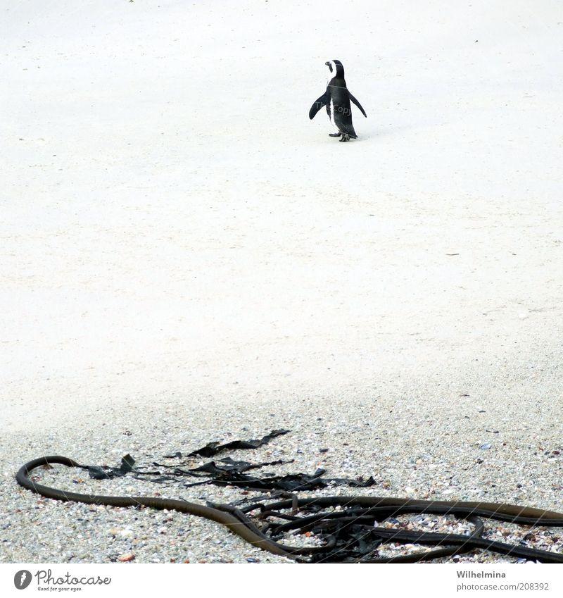 Einsamer Wanderer Strand Einsamkeit Tier Sand Wildtier Pinguin