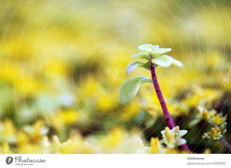 Gelbe Sedum Leben Sommer Gartenarbeit Natur Pflanze Blume Blatt stehen gelb grün Fetthenne Tiefenschärfe seicht geblümt Flora Pfeffer Blütenblatt Goldmoos