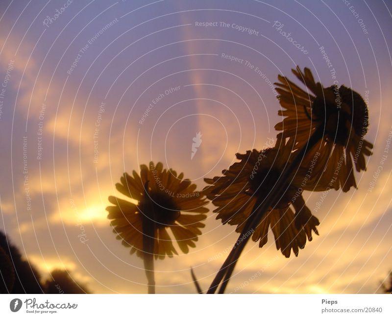 Abends im August 1 Farbfoto Außenaufnahme Dämmerung Sonnenstrahlen Sommer Natur Pflanze Himmel Wolken Blume Blüte Garten violett Stimmung Jahreszeiten 3 flowers