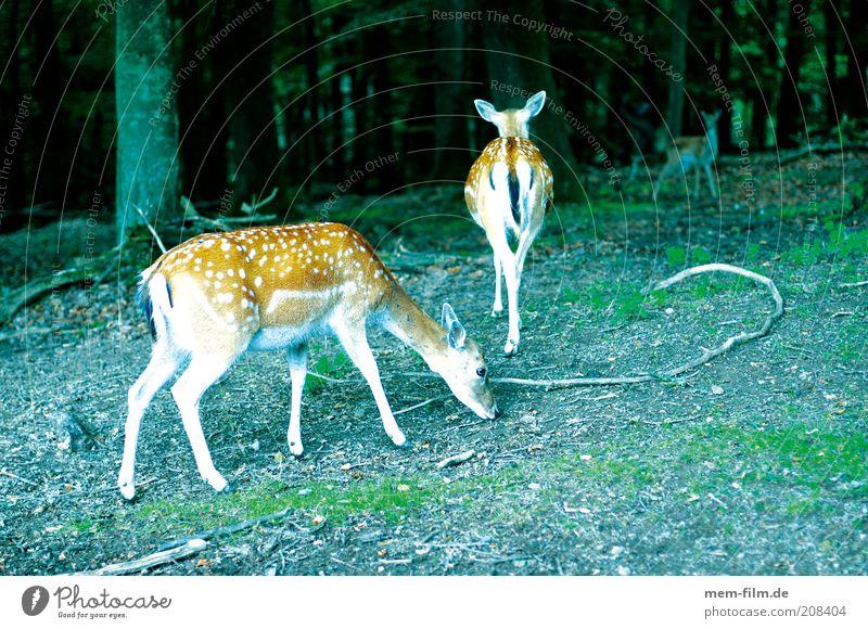 bambis freunde Bambi Reh Wildtier Wald Rehkitz Hirschkalb Punkt Damwild Hirsche Außenaufnahme Farbfoto Menschenleer Tiergruppe gepunktet Fressen 3 Tierjunges