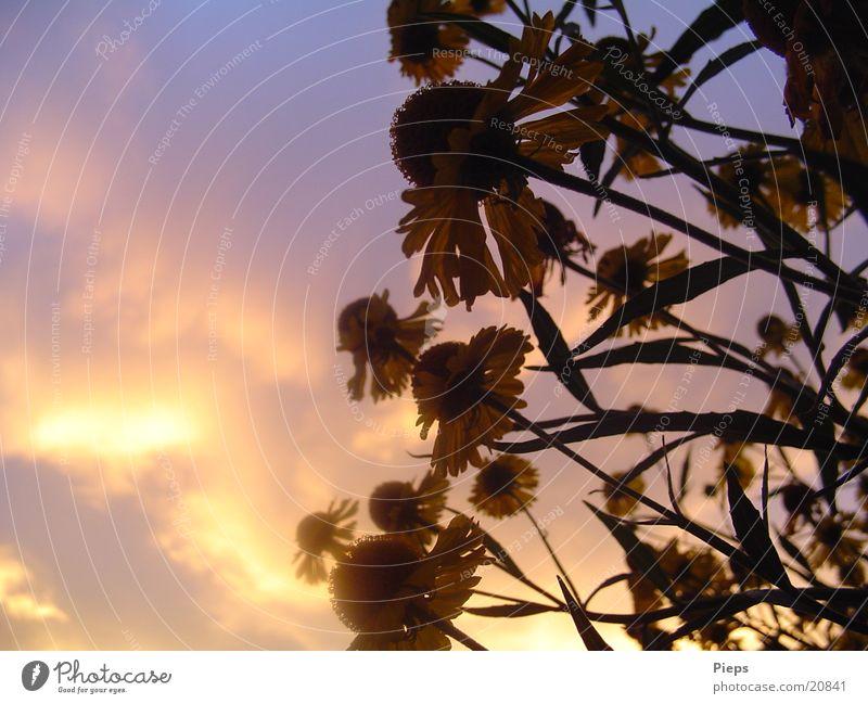 Abends im August 2 Farbfoto Außenaufnahme Textfreiraum links Dämmerung Sonnenstrahlen Sommer Natur Pflanze Wolken Blume Blüte Garten Blühend violett Stimmung