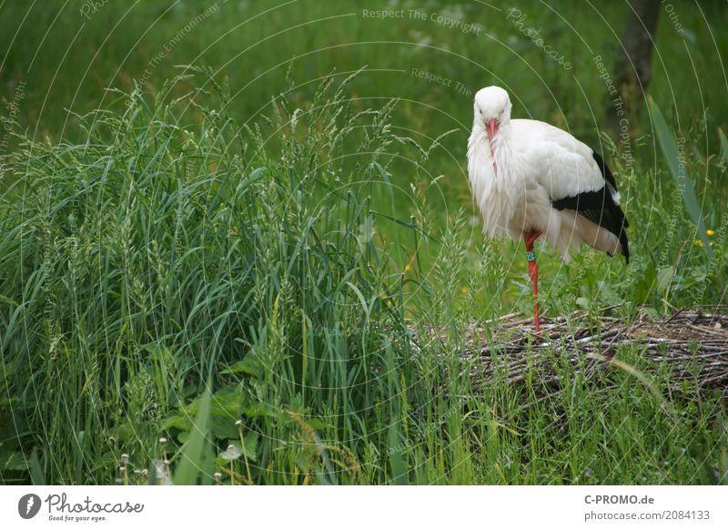 Ich mach' noch ein Nickerchen Natur grün Tier Wiese Gras Wildtier Sträucher stehen Flügel schlafen Seeufer Flussufer Schnabel friedlich Nest Storch