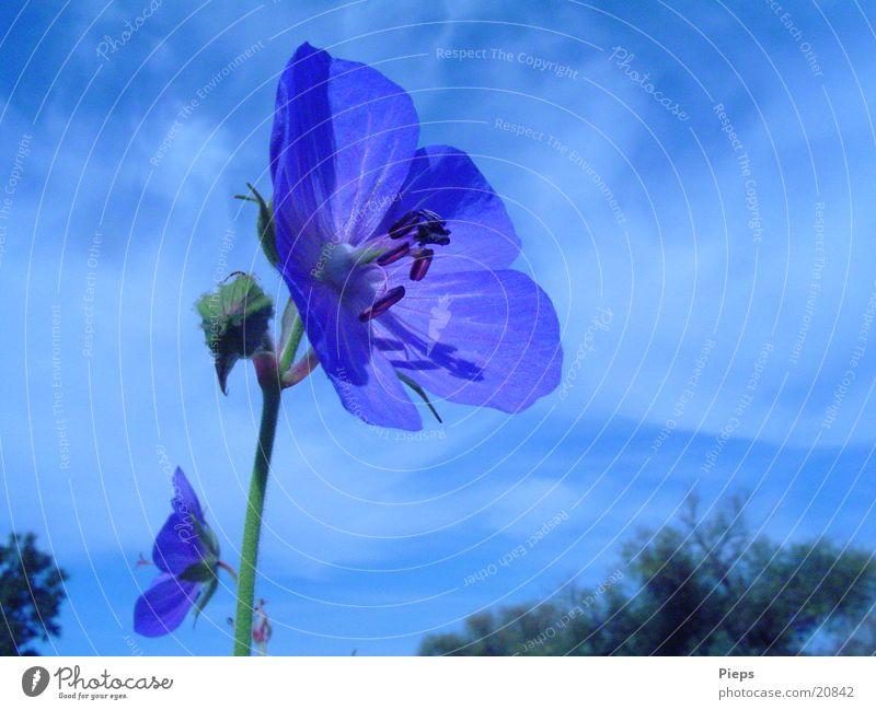blaue Varietät 1 Farbfoto Außenaufnahme Nahaufnahme Tag Sommer Natur Pflanze Himmel Blume Blüte Wildpflanze Wiese Blühend Vergänglichkeit blaue blüte