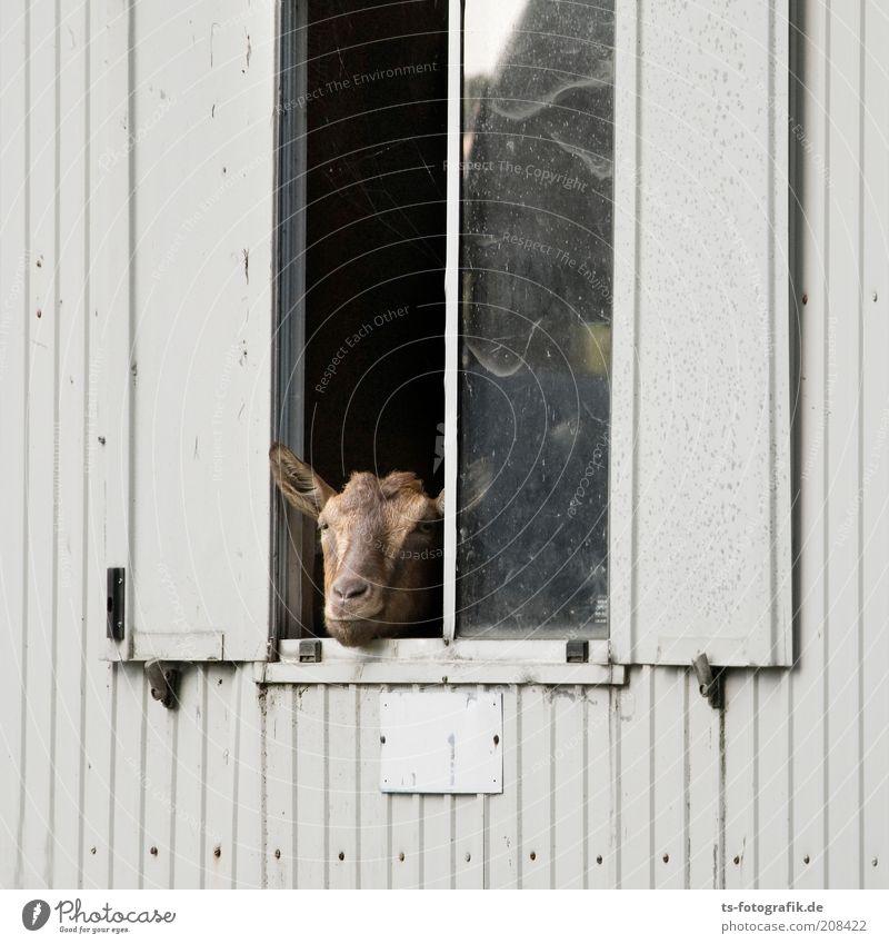 Hallo Nachbar! schwarz Tier Fenster Kopf grau braun lustig Tiergesicht Schutz beobachten außergewöhnlich Neugier Wachsamkeit skurril Fensterscheibe