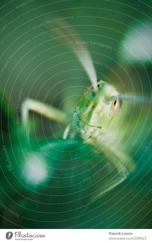 strange look Umwelt Natur Tier Sommer Pflanze Blatt Wildtier Tiergesicht 1 Fressen hocken Blick elegant schön Heuschrecke Fühler unheimlich Farbfoto