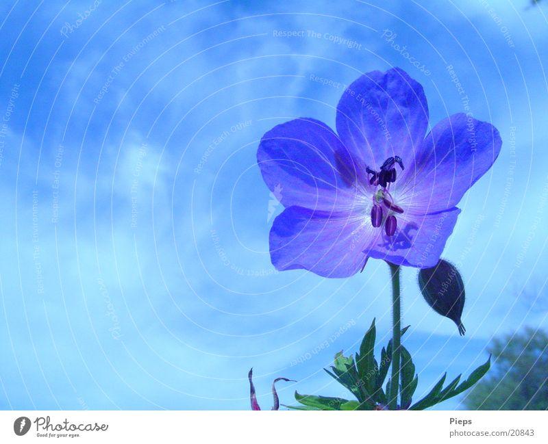 blaue Varietät 2 Farbfoto Außenaufnahme Nahaufnahme Tag Sommer Natur Pflanze Himmel Blume Blüte Wiese wild Vergänglichkeit storchenschnabel blue blossom flower