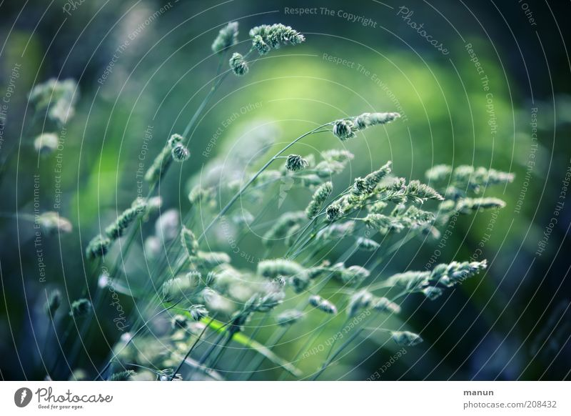 Pinselspitzen Natur schön Pflanze Sommer Umwelt Gras mehrere Wachstum Symbole & Metaphern Blühend Halm Pollen verblüht Wildpflanze
