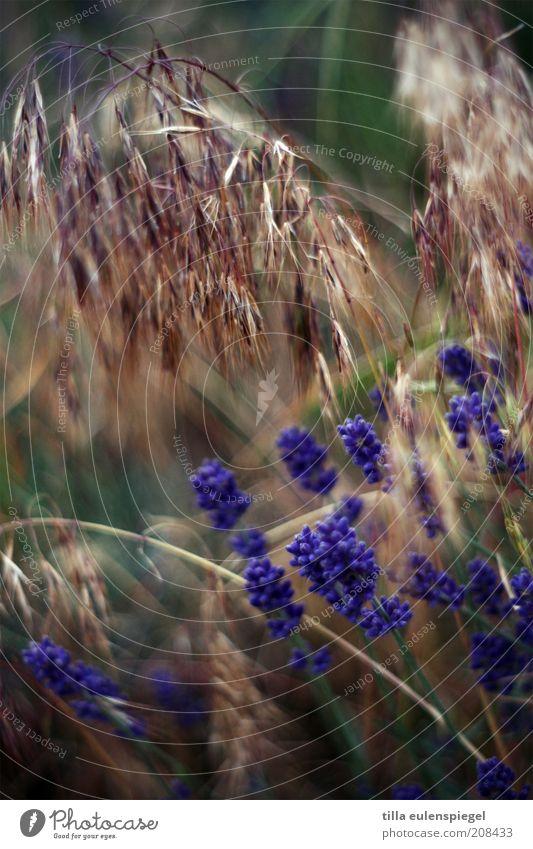 frühstückscerealien Natur Pflanze Sommer Blüte Gras Feld Umwelt violett wild natürlich Getreide exotisch durcheinander Kräuter & Gewürze Lavendel