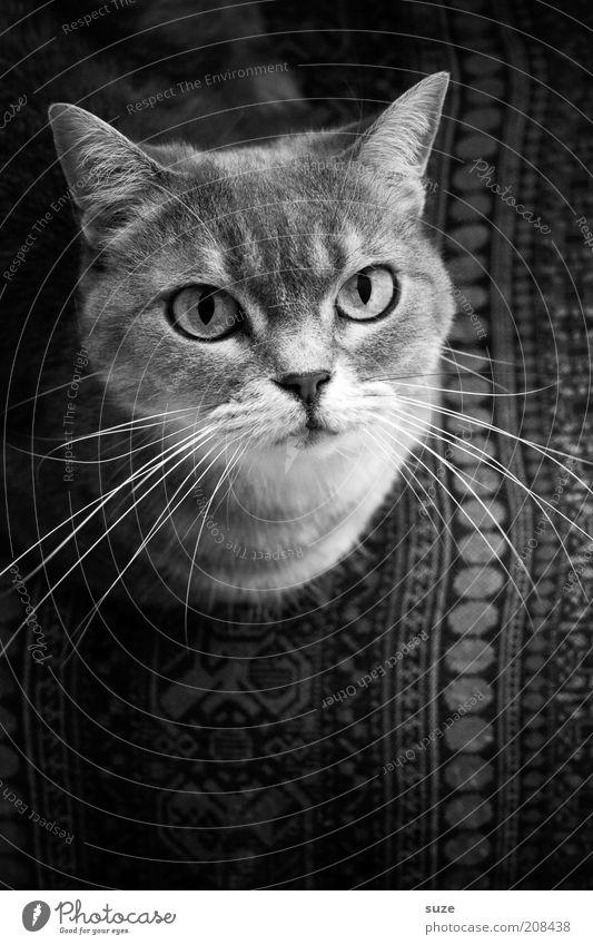Mojo guckt Katze schön Tier Auge Kopf liegen natürlich sitzen Zufriedenheit niedlich beobachten Stuhl Neugier Fell Tiergesicht Wachsamkeit
