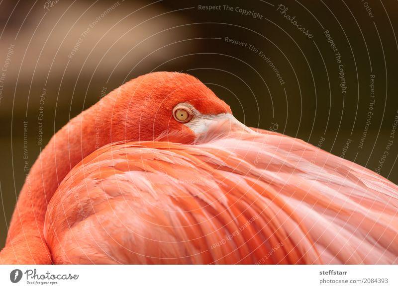 Rosa karibischer Flamingo, Phoenicopterus ruber Auge Tier Wildtier Vogel Tiergesicht 1 wild orange rosa rot rosa Flamingo Karibischer Flamingo